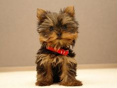 Yorkie Puppies For Sale - Yorkshire Terrier Breeders - AKC Approved Cutest Small Dog Breeds, Cute Small Dogs, Cute Dogs, Smallest Dog Breeds, Small Breed, Perros Yorkshire Terrier, Yorkshire Terrier Puppies, Cute Puppy Wallpaper, Animal Wallpaper