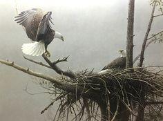 Robert Bateman The Return Bald Eagle pair