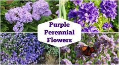 Perennials Shade-Loving Perennial Flowers: 15 Beautiful Choices for Your Garden - Growing tips and care advice for 24 of the most beautiful purple perennial flowers. Includes varieties that are deer-resistant, long-blooming, and carefree. Purple Flowering Plants, Purple Perennials, Flowers Perennials, Shade Plants, Planting Flowers, Purple Perrenial Flowers, Perennials Fabric, Flowers Garden, Yellow Spring Flowers