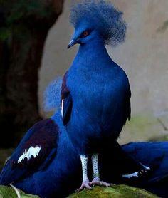 Blauwe duif,  schijnt alleen in India voor te komen. Prachtig!