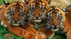 The Bengal tiger is a subspecies of tiger, found over the Indian subcontinent. The Bengal tiger is the national creature of Bangladesh and is thought to Tiger Images, Tiger Pictures, Animal Pictures, Art Pictures, Cute Tiger Cubs, Cute Tigers, Animals And Pets, Baby Animals, Cute Animals