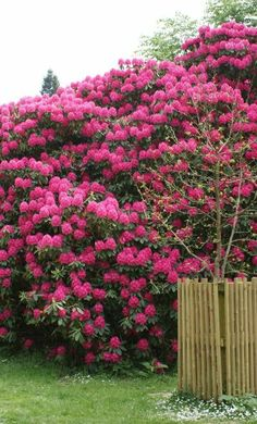 Rhododendrons Shade Loving Plant