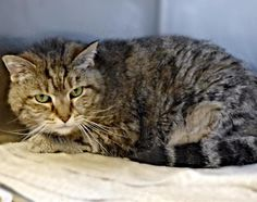 Meet+C-65660+Bella,+a+Petfinder+adoptable+Domestic+Medium+Hair+Cat+|+Mount+Holly,+NJ+|+Meet+Bella!+She's+an+absolutely+gorgeous+brown+tabby!+At+about+11+years+old,+she+has+seen+some...