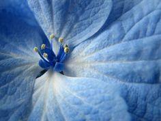 blue hydrangea close up Blue Flowers Images, Light Blue Flowers, Flower Images, Love Flowers, Beautiful Flowers, Hd Flowers, Blue Flower Wallpaper, Color Celeste, Iphone 6 Plus Wallpaper