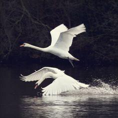 Eneatipo 4   Súper Sano.  El cisne representa el poder del embellecimiento a través del proceso de individuación (el patito feo/ the ugly duckling).