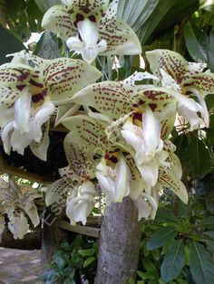 """Stanhopea """"Wetley Secret"""" - The flowers of this cross is huge, very full shape with delicate markings – pale creamy with touch of green and yellow with dark distinct burgundy spots all over the flowers and scent is rather strong and spicy. Both parents are splendidly represented in this cross."""