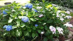 Hydrangea, Mom's House, Holliston, MA (2013)