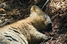 This Napping Quoka is Having a Sweet Dream