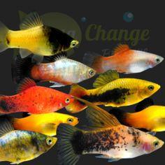 Freshwater Aquarium, Aquarium Fish, Fish Aquariums, Aquarium Ideas, Terrarium Plants, Glass Terrarium, Guppy, Platy Fish, Fish Breeding