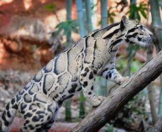 A Beautiful Clouded Leopard