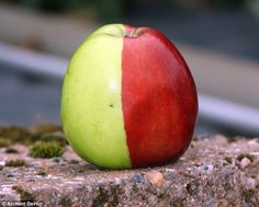 a random mutation caused this Golden Delicious apple to turn half-red, half-green (really, it's not painted) Weird Fruit, Funny Fruit, Strange Fruit, Funny Food, Strange Things, Apple Tattoo, Golden Delicious Apple, Red Apple, Yellow Apple