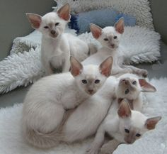 Socialing kittens while they are young is very important. Read this wonderful article from a breeders point of view n the benefits of early socialisation. The Importance of Socialising Kittens Early Finding helpful and reliable information about kitten socialisation proved more difficult than I en