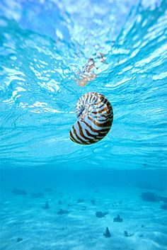 The Nautilus, Greek for 'sailor', is a mollusk that has survived unchanged for millions of years. They represent the only living member of the subclass Nautiloidea, and are often referred to as 'living fossils'.