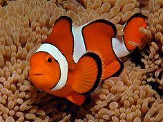 Finding Nemo Clownfish Most Popular Saltwater Aquarium Fish