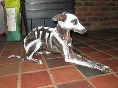 italian greyhound | ... water based body paint to test on maxy our italian greyhound after