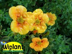 Potentilla 'Mango Tango', ölandstok. Tvåfärgade blommor, 0,8 m hög.