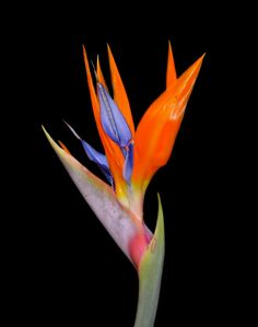 Birds of Paradise flowers Tropical Flowers, Hawaiian Flowers, Tropical Plants, Tropical Birds, Exotic Birds, Colorful Birds, Tropical Garden, Orange Flowers, Yellow Roses