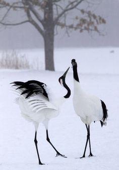 Dancing Winter Cranes