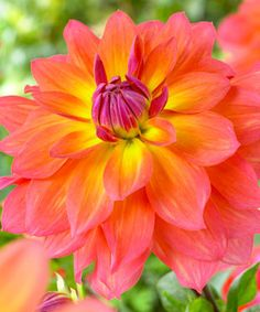 Dahlia 'Fire Pot':  Resembling a water lily, the spectacular pink and yellow blooms are perfect for fabulous summer bouquets! The bright blooms are butterfly-magnets and Fire Pot is extremely easy to grow both in the garden and in containers.