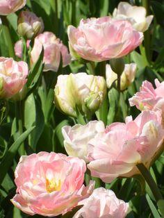 """Rosa Tulpen laden """"Die Wandler""""  ebenfalls ein! Was haltet Ihr davon? http://www.christina-dabrowski.com/#!blog/c1ckt"""