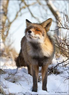 What is mr Fox smelling?  His breakfast I think.