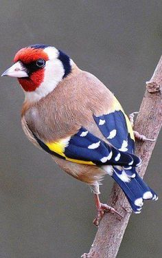 European Goldfinch , from Iryna