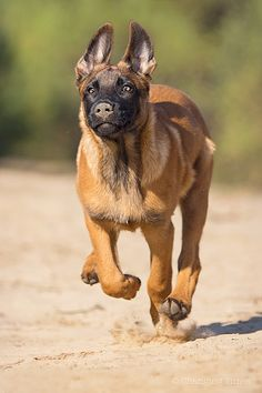 Belgian Shepherd, German Shepherd Dogs, Rottweiler, Belgian Malinois Puppies, Belgium Malinois, Dog Whisperer, War Dogs, Dog Fighting, Working Dogs