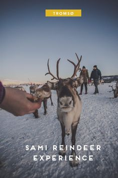 A traditional Sami experience with reindeer sledding in Tromsø. You will learn about the culture, enjoy lunch in a lavo, and feed the heard of deer. Reindeer And Sleigh, Tromso, Cultural Experience, Lofoten, Travel List, Sled, Plan Your Trip, Day Tours, Arctic