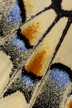 Old World Swallowtail Close-up Wing Detail photograph by:  Darrell Gulin