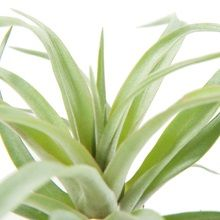 Green Lifestyle Store Kamerplant Tillandsia Airplant - Koper
