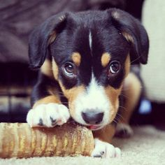 Entlebucher Mountain Dog - Up there with Beagles as my fav dog breeds :) Pity there isn't any breeders in Australia *pout*