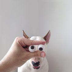 Des images marrantes avec son bull terrier   jimmy choo rafael mantesso des images marrantes avec son bull terrier 9