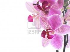 Closeup of a purple orchid isolated on white