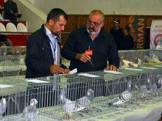 Menteşe 2. Güvercin Festivali'nde güvercinseverler buluşuyor.. Detaylar ajanimo.com'da.. #ajanimo #ajanbrian #hayvan #animal
