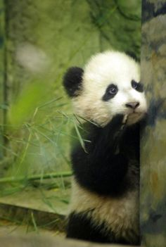 Pandas are just too cute !!! ♡♡♡