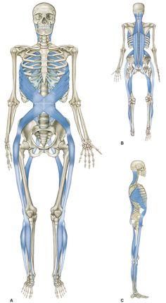 """Abb. 6_Die Spirallinie: Die Spirallinie windet sich um den Körper, sie ermöglicht Rotationen des Körpers und gegenläufige Bewegungen. Sie umhüllt den Körper wie eine Doppelspirale. Ihre Haltungsfunktion besteht darin, dass sie das Gleichgewicht auf allen Ebenen gewährleistet. Ihre Bewegungsfunktion liegt zum einen darin, dass sie beim Gehen eine exakte """"Spurführung"""" gewährleistet, zum anderen erzeugt sie Rotationen und stabilisiert den Körper"""