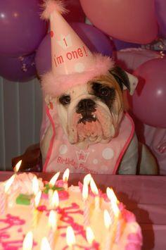 ❤ Birthday Princess ~ Still a pup at 1 ❤ Posted from I love English Bulldogs