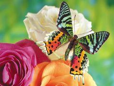 fond ecran butterfly wallpaper background free gratuit 001 image picture papier peint background