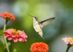Sweet Hummingbird Flying - Elegant Ruby Throated Hummingbird with colorful zinnia flowers.