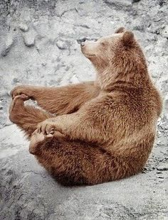 funny yoga bear - or is it the original Yogi Bear? All Gods Creatures, Cute Creatures, Beautiful Creatures, Animals Beautiful, Animals And Pets, Funny Animals, Cute Animals, Happy Animals, Mundo Animal