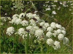 fiori spontanei con insetti località Alleghe-Caprile