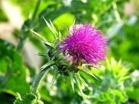 A milk thistle liver detox is one of the most effective liver cleansing herbs that you can use in your natural liver detox and healthy liver cleansing diet. Natural Herbs, Natural Healing, Milk Thistle Benefits, Digestive Detox, Detox Your Liver, Liver Cleanse, Cleanse Detox, Body Cleanse, Natural Detox Drinks