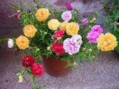 Portulaca Flowers, Portulaca Grandiflora, Planting Flowers, Flower Plants, Vietnam Rose, Beautiful Nature Pictures, Ornamental Plants, Diy Hacks, My Flower
