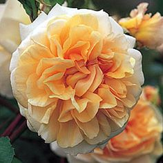 David Austin Rose Pegasus Camellia like flowers in apricot yellow Rose Fotografie, Roses David Austin, Rose Anglaise, Rose Hedge, Shrub Roses, Deco Floral, Orange Roses, Peach Orange, English Roses