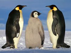 Penguins #penguins #penguin #penguino #emperorpenguin #gentoo #peace #love happiness #coury #kingpenguin