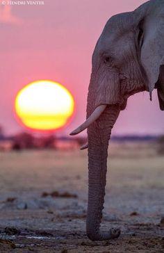 Elephant Bull, Nxai Pans, Botswana by Hendri Venter