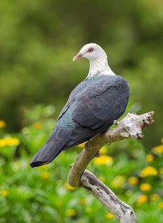 White-headed Pigeon from Australia