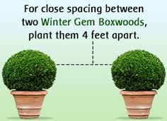 Factors to Consider While Planting Winter Gem Boxwoods