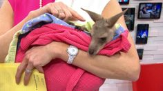 Gretta the gray kangaroo cuddles in Amy's arms! Watch HERE: http://abcn.ws/1gS6Nk8