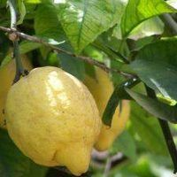 You can still have fresh citrus even if you live in a colder climate. Lemon, lime and orange trees can be grown in containers inside your home. Dwarf citrus trees do very well in containers. They also fill your home with a wonderful fragrance when in bloom. Even if you live in warmer climates, you may prefer to grow lemon trees in pots. They can...